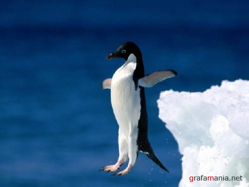 Penguin  Photos Wallpapers