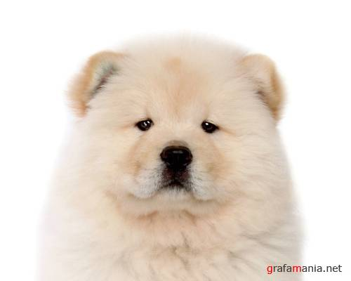Puppy Chow Chow Wallpapers