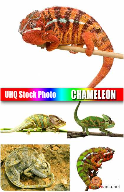 UHQ Stock Photo - Chameleon