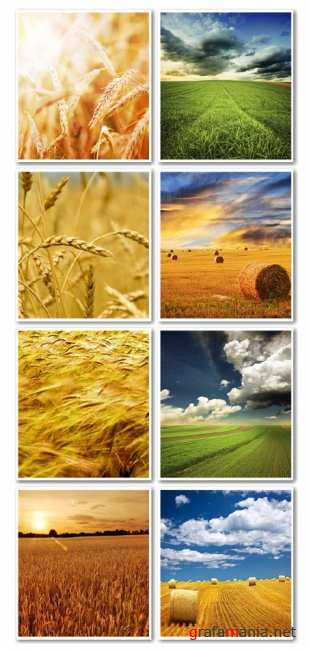 Stock Photo:Wheat field