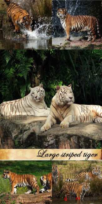 Stock Photo: Large striped tiger