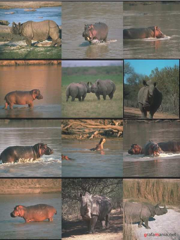 Hippos and rhinos