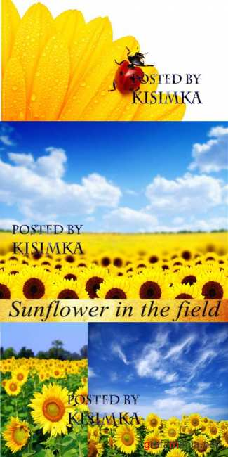 Stock Photo: Sunflower in the field