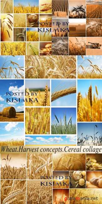 Stock Photo: Wheat. Harvest concepts. Cereal collage