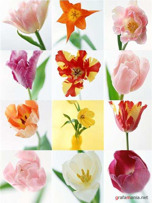 Stock photo - Tulips