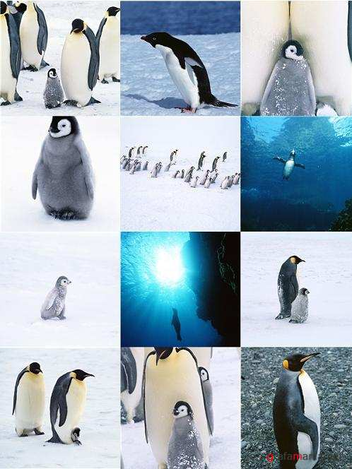 Stock Photo - Penguins