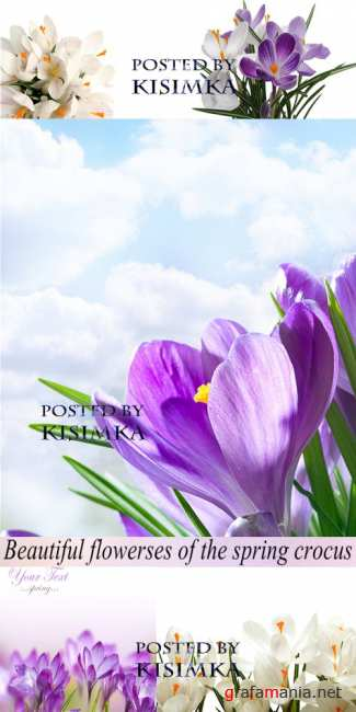 Stock Photo: Beautiful flowers of the spring crocus