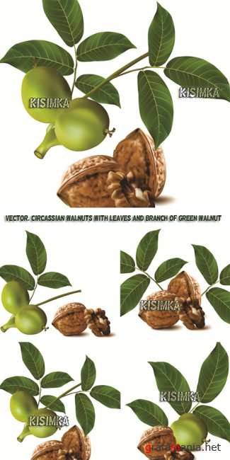 ������� ����  Stock: Circassian walnuts with leaves and branch of green walnut