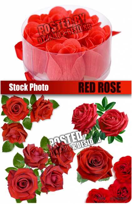 UHQ Stock Photo - Red Rose