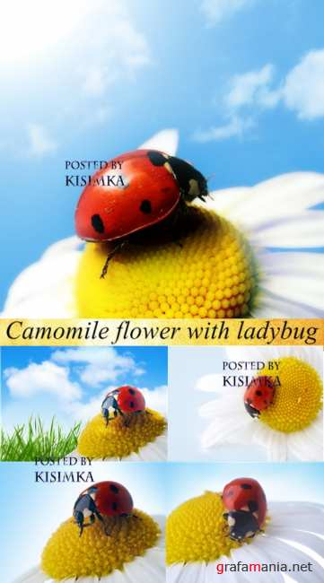 Stock Photo: Camomile flower with ladybug