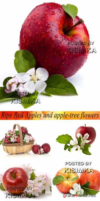 Stock Photo: Ripe Red Apples and apple-tree flowers