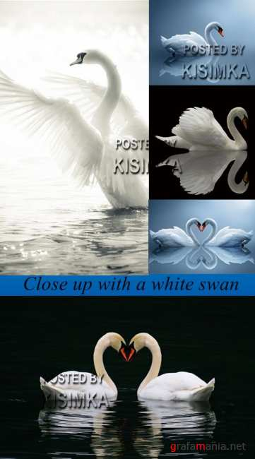 Stock Photo: Close up with a white swan