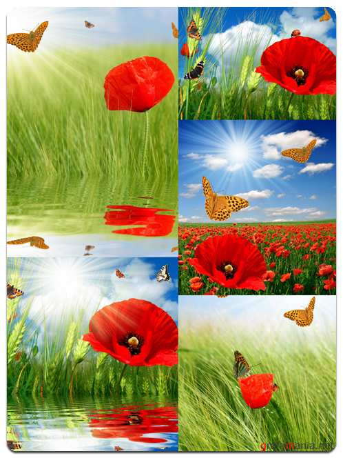 Poppy Flowers and Butterflies - Stock Photo Images