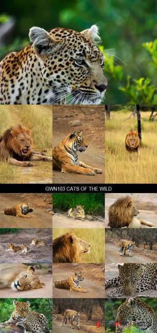 Stock Images - GWN103 Cats of the Wild