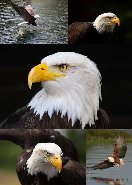 Stock Photo - Eagle