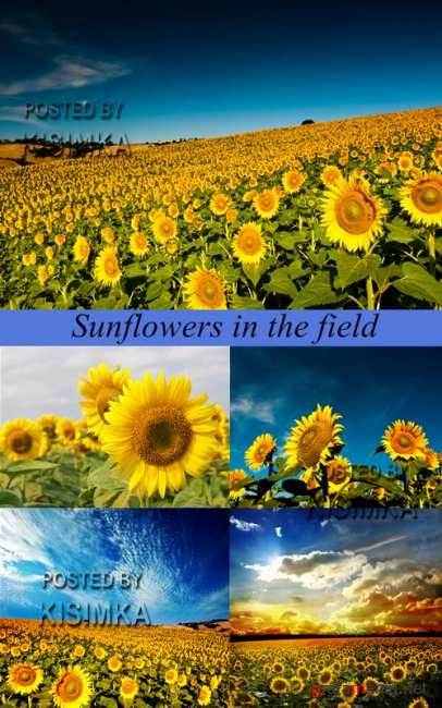 Stock Photo: Sunflowers in the field
