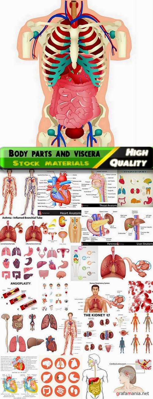 Body parts and viscera in vector from stock - 25 Eps