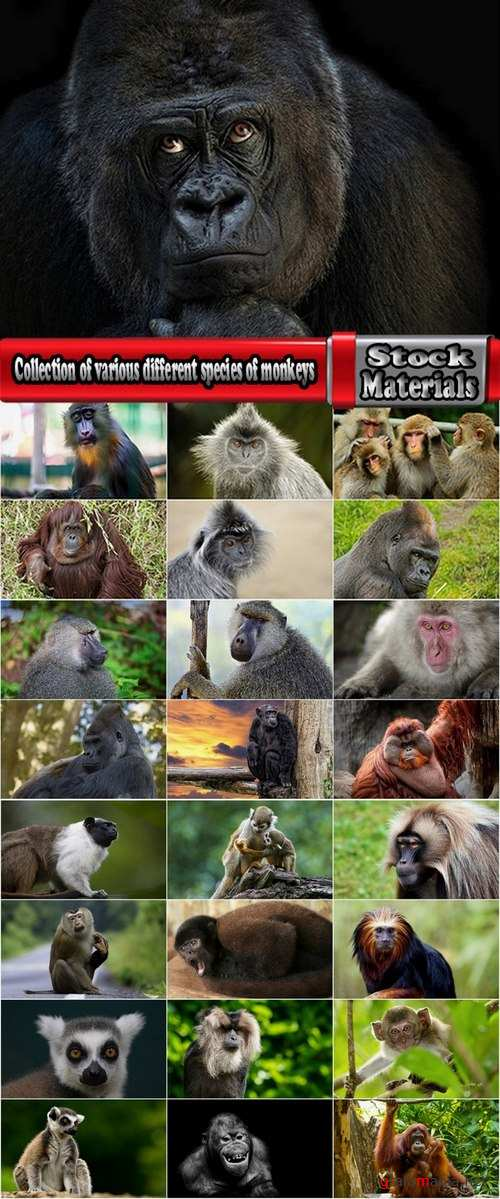 Collection of various different species of monkeys 25 UHQ Jpeg