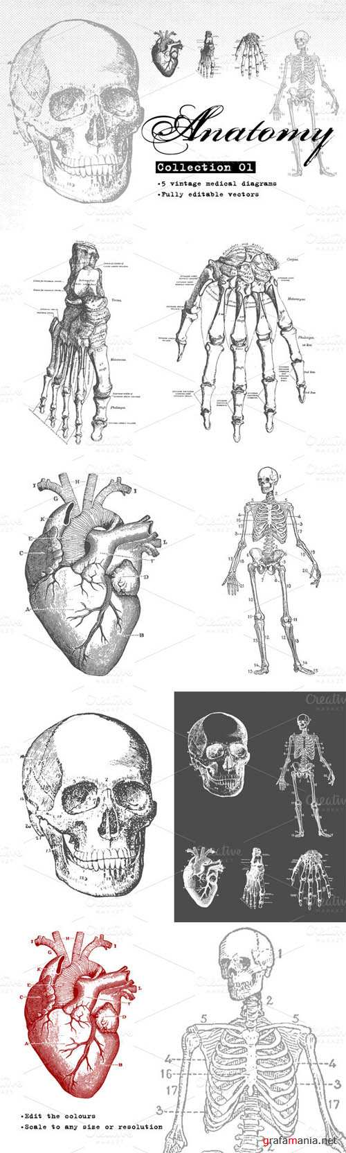 Anatomy Vector Collection 01