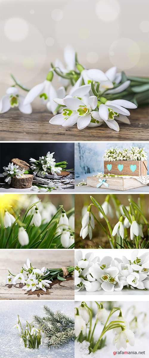 Stock Photo Snowdrops Growing In Snow