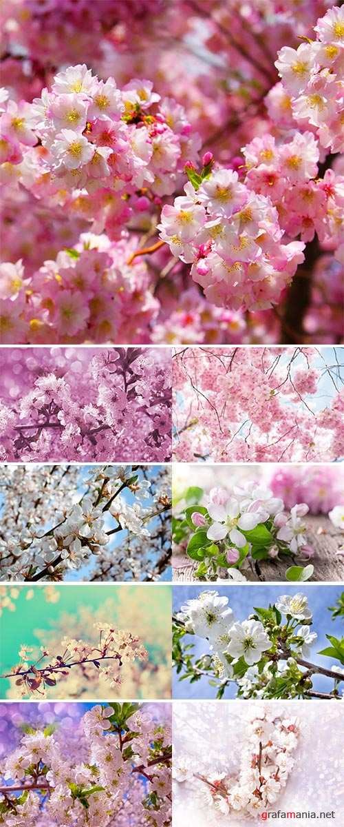 Stock Photo Pink cherry blossoms in garden outdoors close up