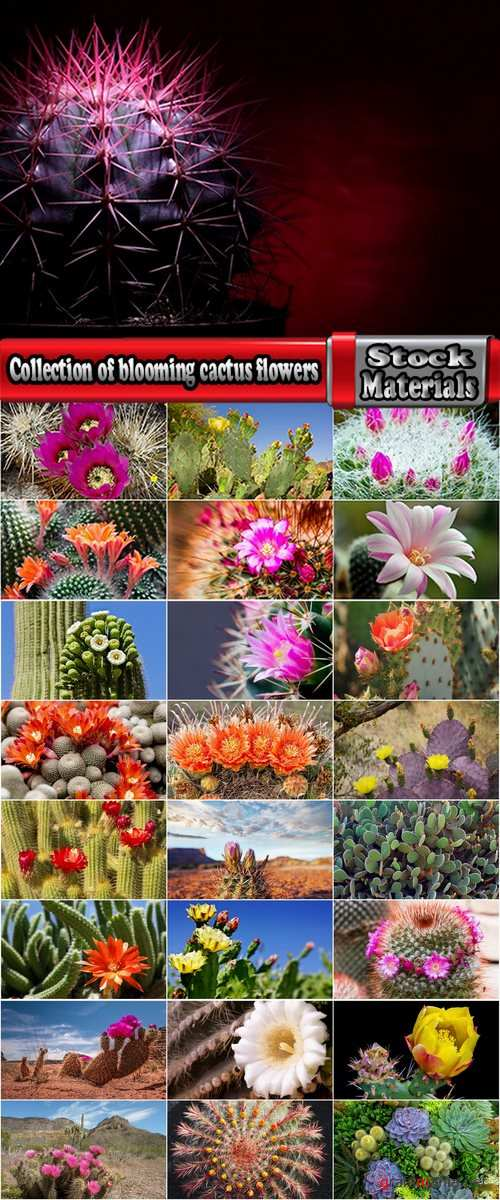 Collection of blooming cactus flowers cactus in the desert 25 HQ Jpeg