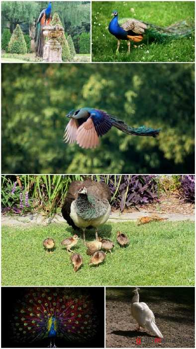 Peafowl photo