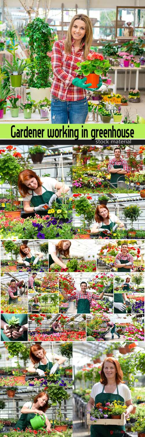 Gardener working in greenhouse with colourful flowers