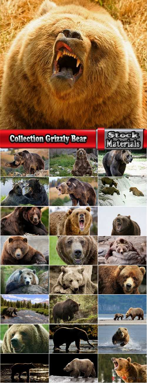 Collection Grizzly Bear predatory animal skin fur hunting in the wild 25 HQ Jpeg