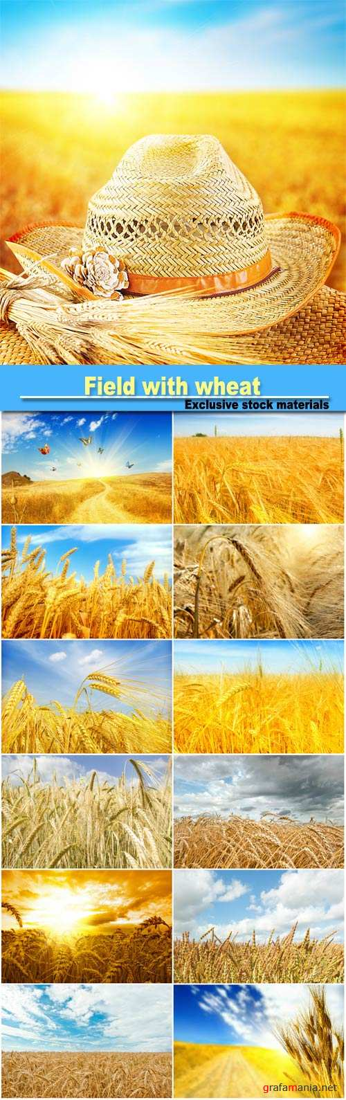 Field with wheat background with spikelets of wheat