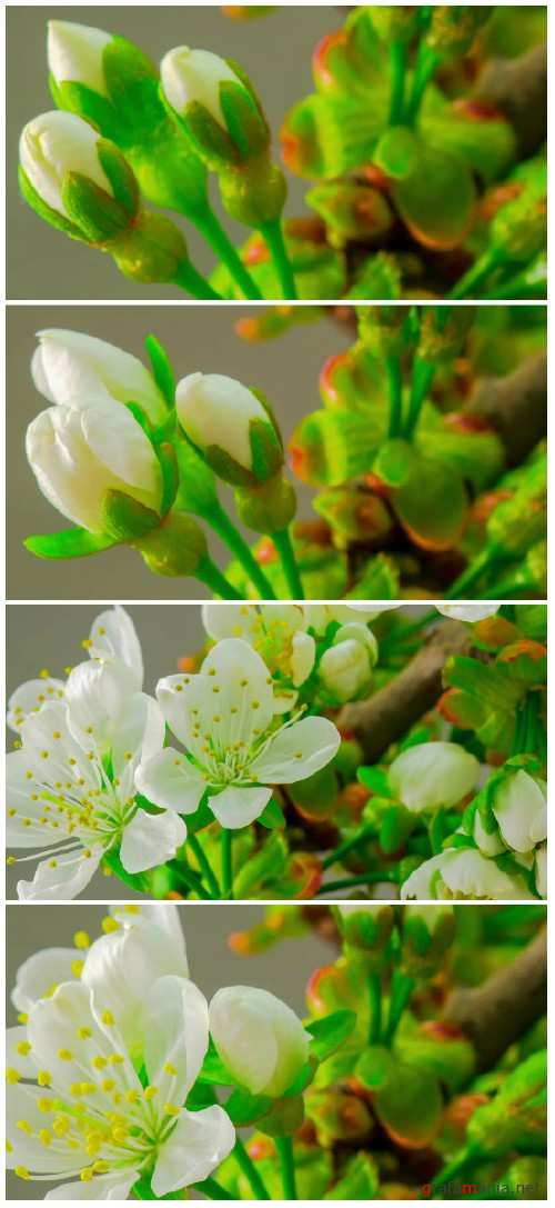 Spring flowers on the branches of a cherry tree HD