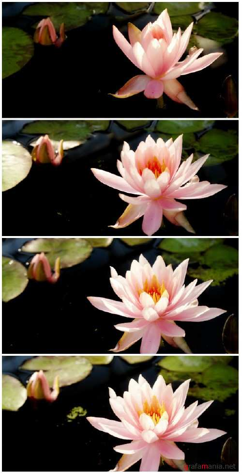 Video footage Time lapse opening of water lily flower
