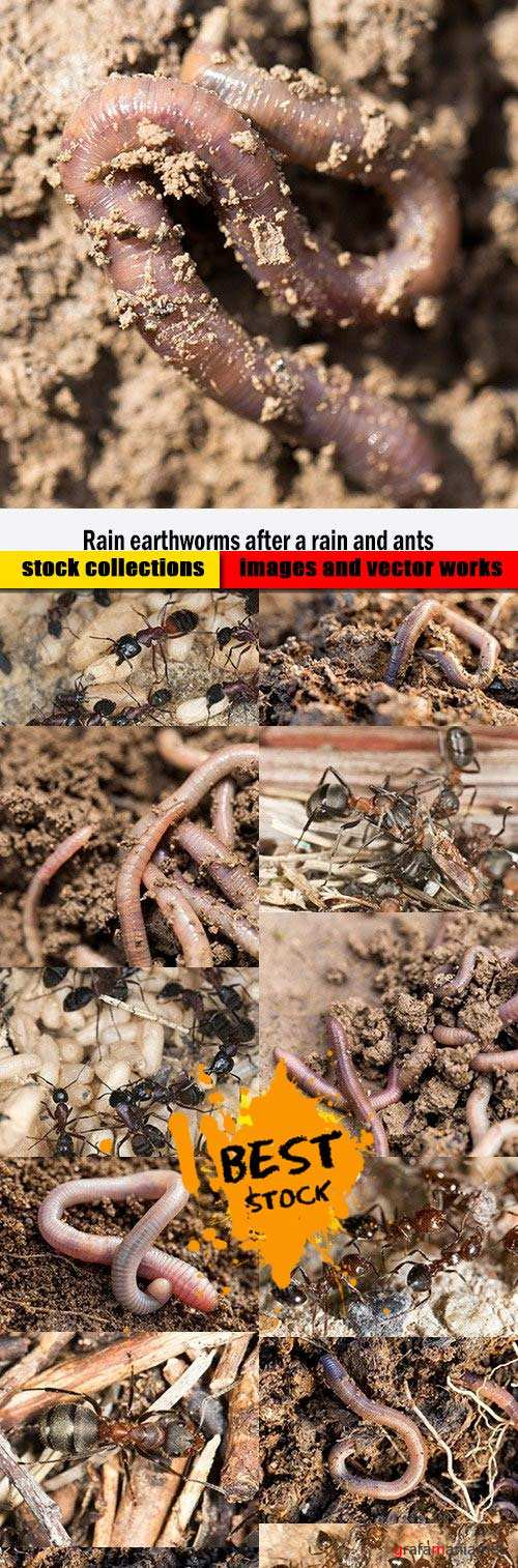 Rain earthworms after a rain and ants