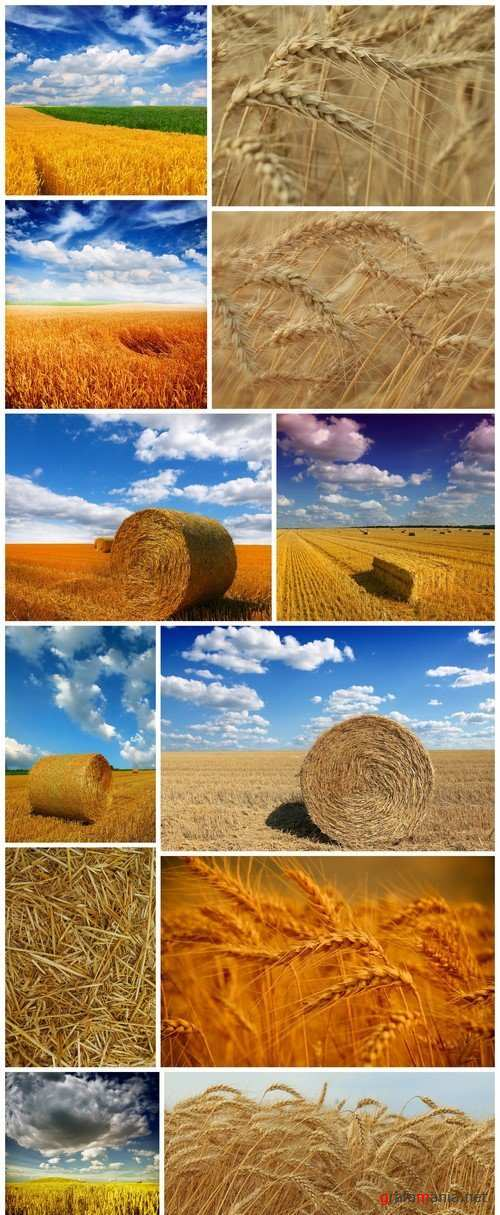 Agriculture, wheat field 12X JPEG