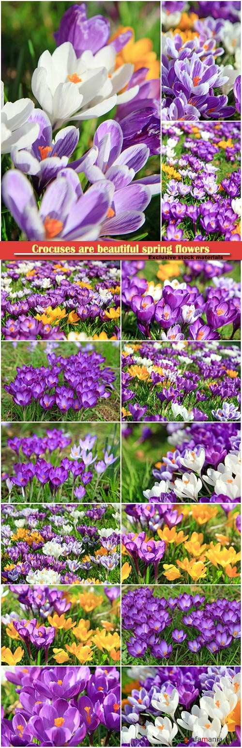 Crocuses are beautiful spring flowers