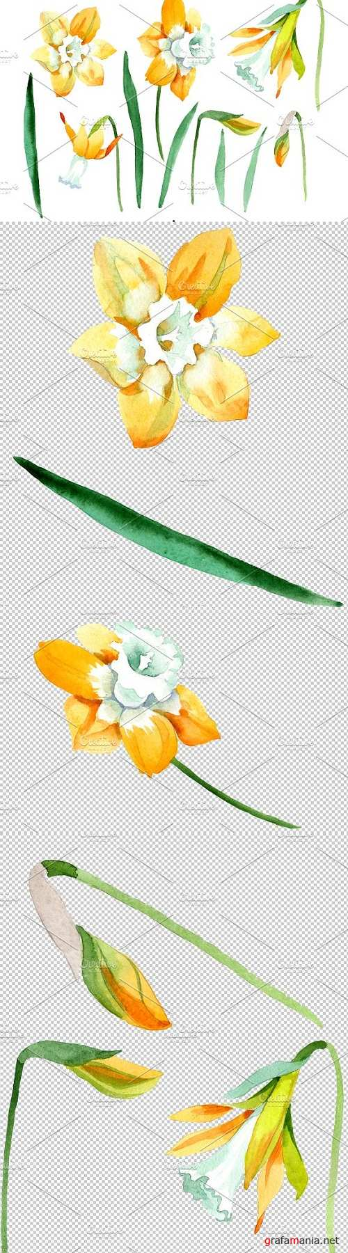 Yellow Narcissus Watercolor png - 3499328