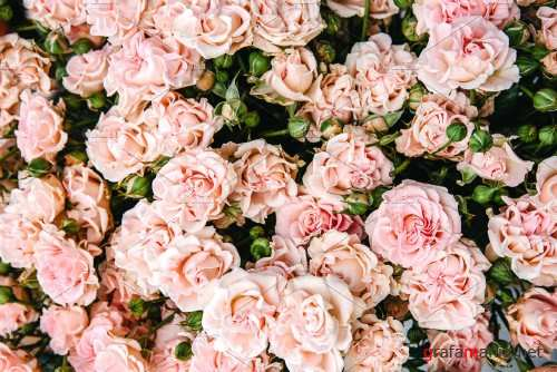 Light pink roses - 3383017