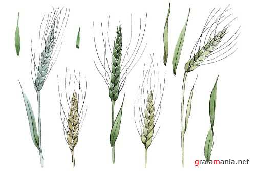 Spike of wheat Watercolor png - 3684359